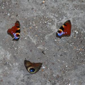 vleugels dagpauwoog
