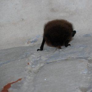 uitdagende vleermuis